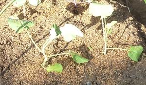 茎ブロッコリー.jpg